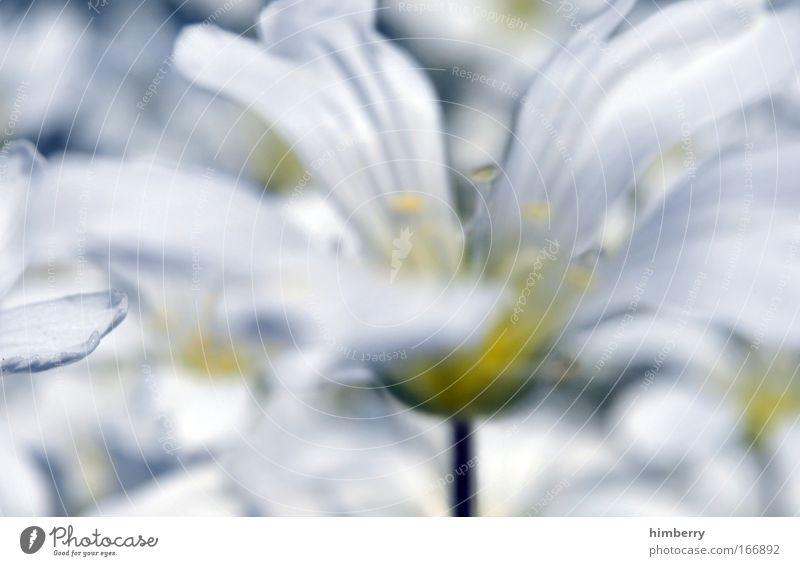 silent silver Natur weiß Pflanze Sommer Blume ruhig Erholung Frühling Glück Blüte Park Zufriedenheit Hintergrundbild natürlich ästhetisch Fröhlichkeit