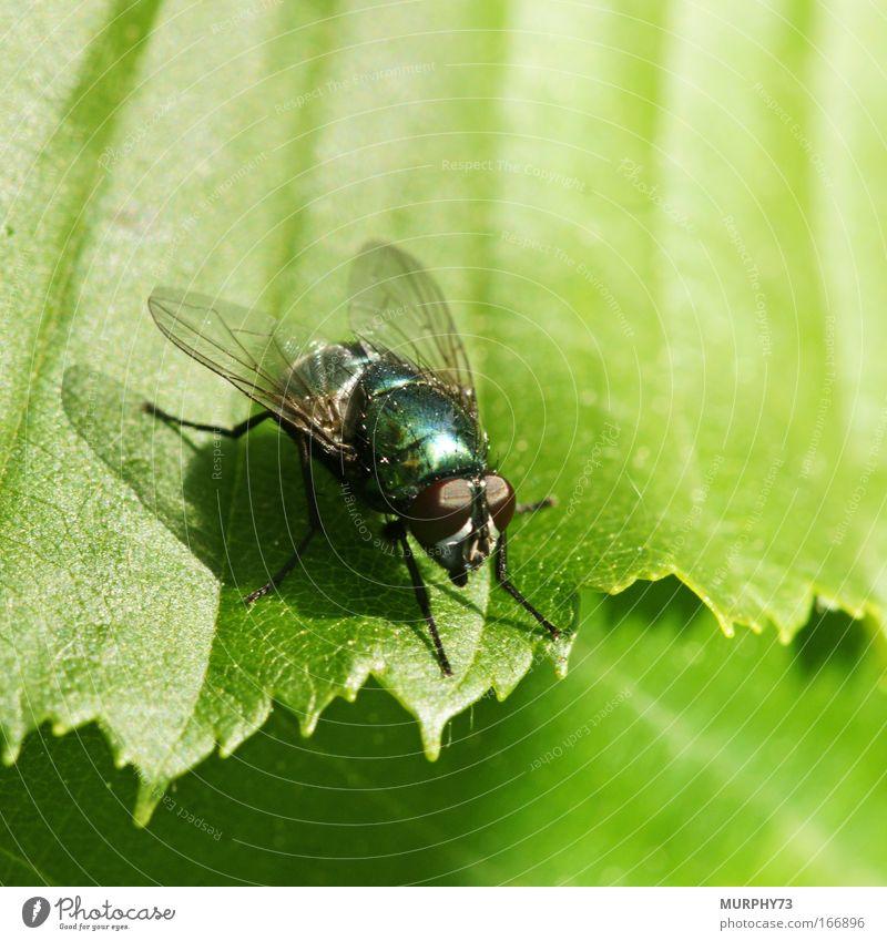 Goldfliege auf Grün serviert... Natur grün Blatt Tier glänzend Fliege fliegen ästhetisch stehen Sträucher Tiergesicht Flügel beobachten fantastisch natürlich gruselig
