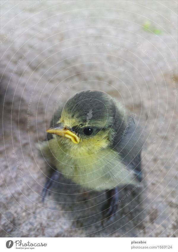 Grumpybird. Natur schön Einsamkeit Tier Tierjunges gelb lustig klein Garten grau fliegen Stein Vogel träumen frei stehen