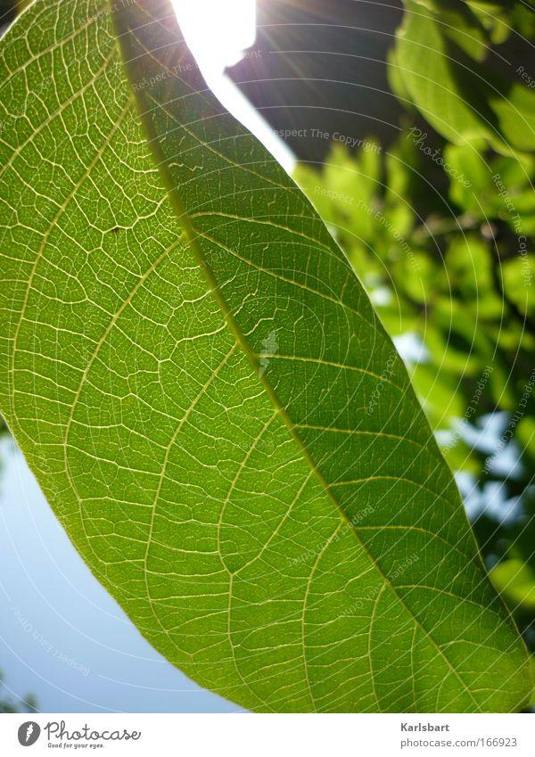 das streicheln der blätter während des vorgangs des scheinens. Natur schön Sommer Pflanze Sonne Blatt Umwelt Leben frisch harmonisch Bildausschnitt Blattadern