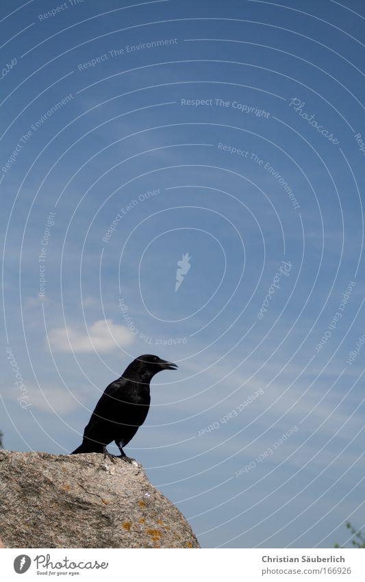 Quoth the raven, `Nevermore.' Farbfoto Außenaufnahme Menschenleer Textfreiraum oben Tag Silhouette Tier Wildtier Vogel Flügel Rabenvögel 1