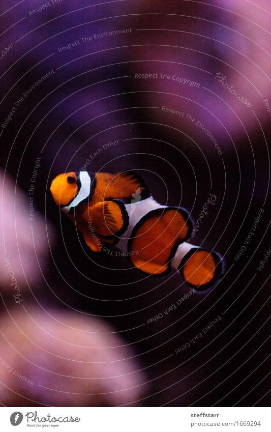 Clownfish, Amphiprioninae, in einem Meeresfisch- und Riffaquarium weiß Tier schwarz orange Wildtier Fisch Haustier Aquarium