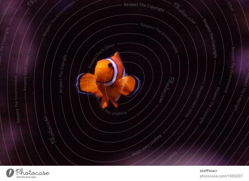 Clownfish, Amphiprioninae, in einem Meeresfisch- und Riffaquarium weiß Tier schwarz orange Wildtier Fisch Haustier Aquarium Schuppen