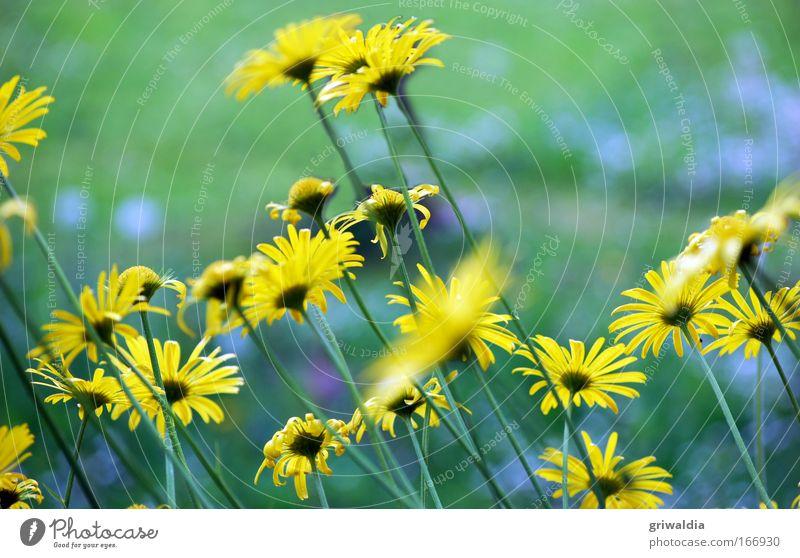 margi`s blüten Natur Blume grün Pflanze gelb Wiese Blüte Bewegung Frühling Umwelt Perspektive Wachstum stehen Blühend leuchten Duft