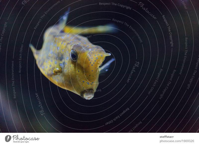 Longhorn-Kuhfische, Lactoria cornuta blau Tier schwarz gelb Wildtier Fisch Haustier Tiergesicht Aquarium