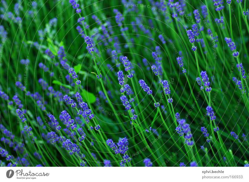 der sonne entgegen Natur Pflanze Sommer Blüte Grünpflanze Lavendel Blühend Duft Wachstum frisch schön lang blau grün Idylle Ferien & Urlaub & Reisen Stimmung