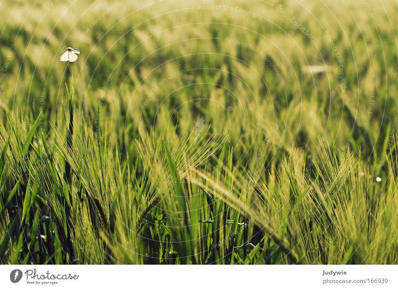 Kleiner Falter Natur schön grün Pflanze Sommer Tier gelb Erholung Frühling Freiheit Glück Landschaft Zufriedenheit Stimmung Feld fliegen