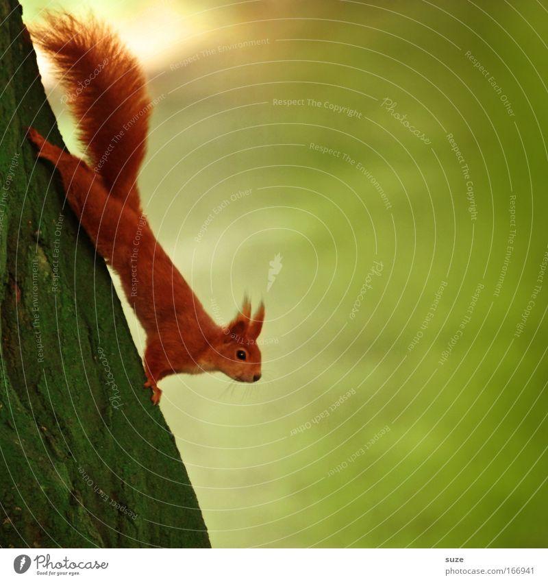Hals über Kopf Umwelt Natur Pflanze Tier Sommer Baum Wiese Wildtier Eichhörnchen 1 hängen authentisch lustig niedlich grün rot Tierliebe Neugier Interesse
