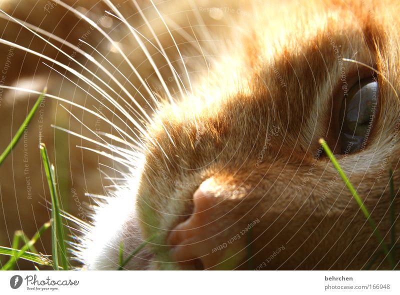 mein felix Katze Natur schön Tier Auge Gras liegen orange träumen genießen Wassertropfen Schönes Wetter Nase Fell Halm Haustier