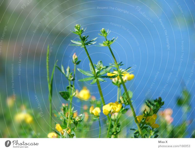 Ein paar Blümchen für DORIT zum GEBURTSTAG!!! Natur Blume blau gelb Wiese Gras See Wachstum Sträucher Teich Moor Sumpf Frühlingsgefühle