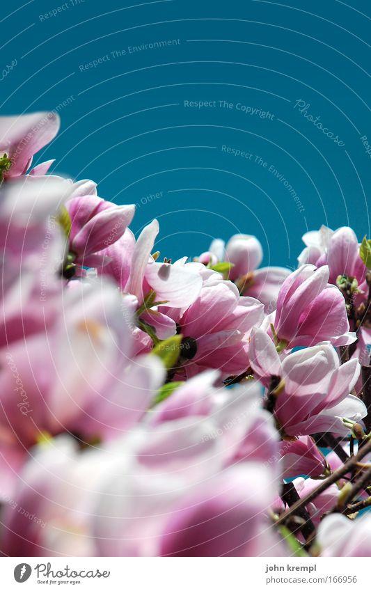 in voller blüte Farbfoto mehrfarbig Außenaufnahme Textfreiraum oben Tag Natur Pflanze Himmel Wolkenloser Himmel Frühling Schönes Wetter Baum Blüte