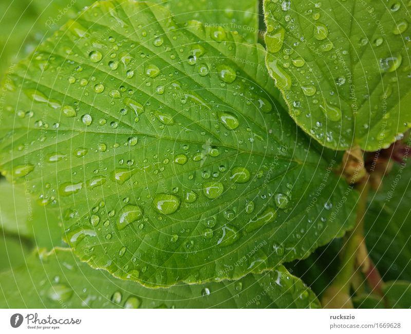 dewdrops; Weed; Water; Structure; Dew; Raindrops Natur Wasser Wassertropfen Blatt ästhetisch nass Tau Zaubernuss Struktur Regentropfen Nebeltropfen Perle