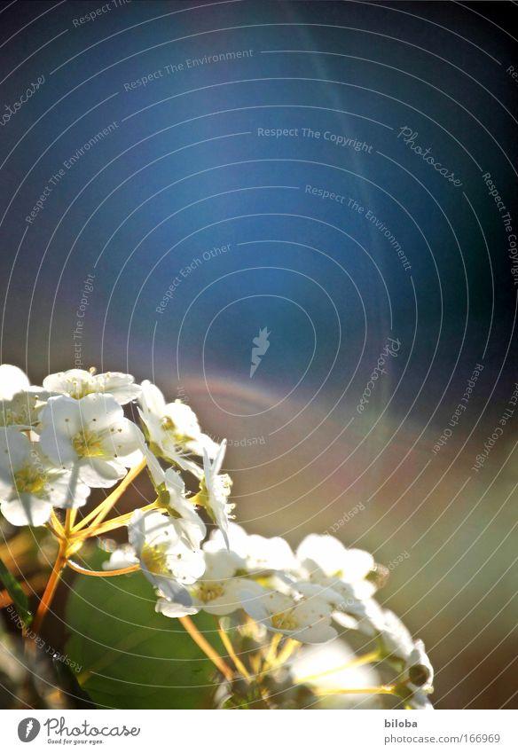 Blütenzauber Natur schön weiß grün blau Pflanze Leben Frühling träumen Park Umwelt ästhetisch Romantik Sträucher authentisch