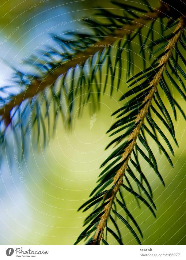 Tannenzweig grün Baum Holz Dekoration & Verzierung Ordnung Ast Jahreszeiten Kiefer festlich Saison pflanzlich verzweigt geblümt Konifere Immergrün