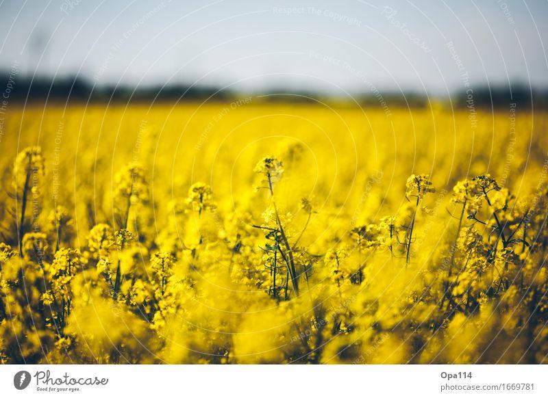 "Raps Umwelt Natur Pflanze Tier Frühling Sommer Schönes Wetter Grünpflanze Nutzpflanze Rapsfeld Feld Blühend Duft stehen leuchten Wachstum gelb gold ""Natur Zart"""