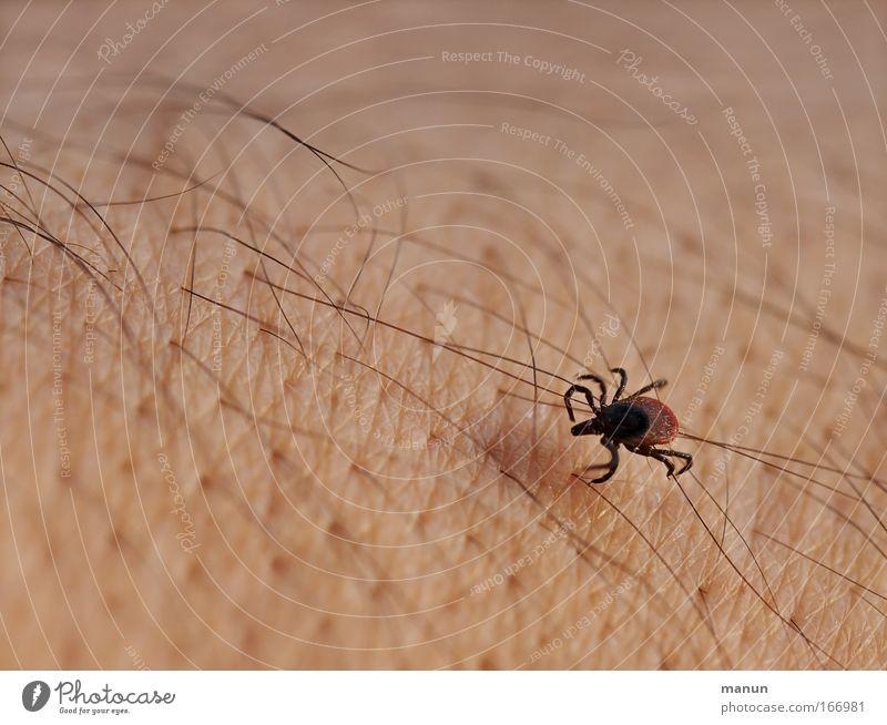 Zecke Gesundheitswesen Sommer beißen stechen 1 Tier krabbeln Aggression authentisch bedrohlich Ekel klein braun gefährlich Risiko Schutz Borreliose Blutsauger