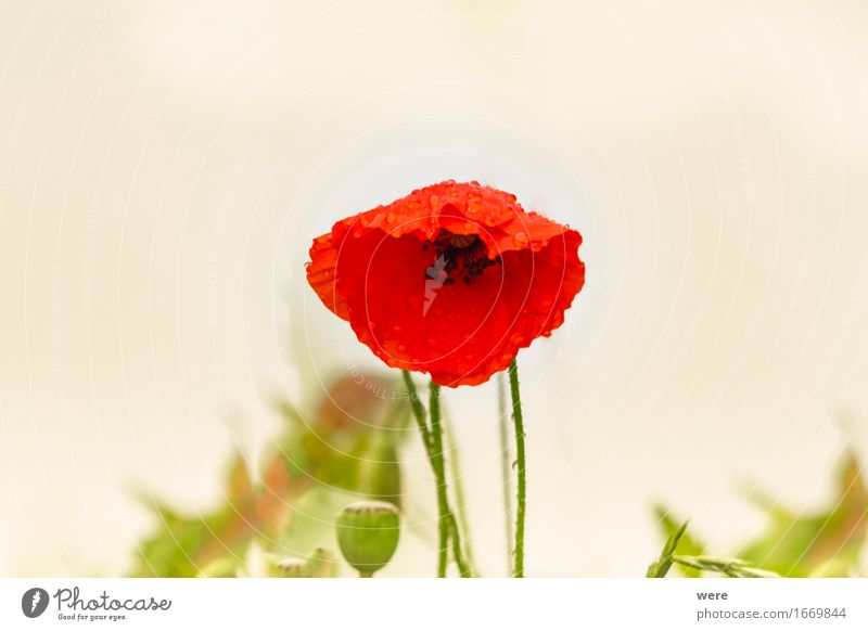 Mohn-Tag Rauschmittel Natur Pflanze Wasser Frühling Blume Blatt Blühend nass Umweltschutz Biotop Drogenhandel Drogenmissbrauch Flora und Fauna Jahreskreislauf