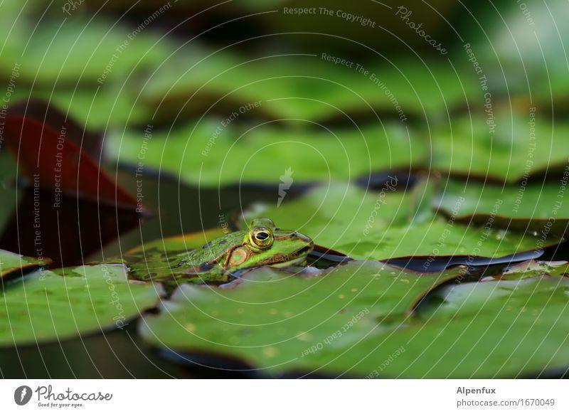 Froschperspektive Umwelt Natur Seerosenteich Seerosenblatt Teich Tier 1 beobachten Küssen Blick nass grün Wasserfrosch Farbfoto Außenaufnahme Nahaufnahme