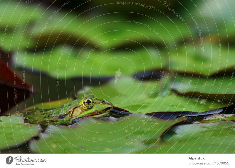 Froschperspektive II Umwelt Natur Seerosen Seerosenblatt Seerosenteich Park Teich Tier 1 beobachten Küssen nass grün Wasserfrosch Farbfoto Außenaufnahme