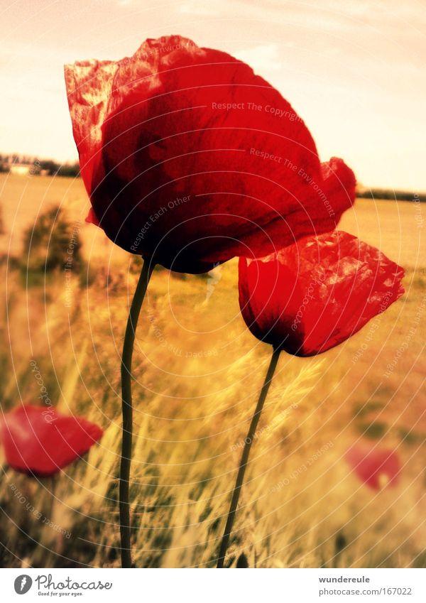 mohnblumenzauber Farbfoto Außenaufnahme Menschenleer Tag Zentralperspektive Pflanze Blume Wildpflanze Feld Freiheit Frieden Natur Mohn rot