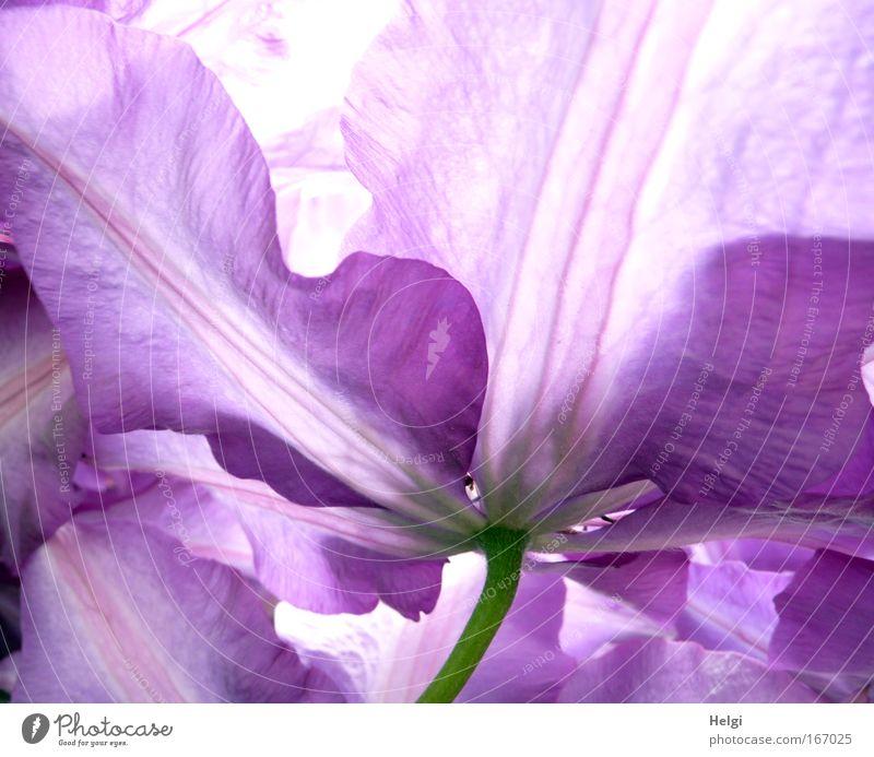 Nahaufnahme von Blütenblättern einer lila Clematisblüte Farbfoto Außenaufnahme Detailaufnahme Menschenleer Tag Gegenlicht Umwelt Natur Pflanze Frühling