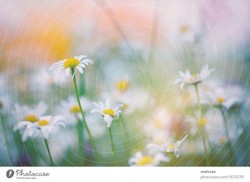 S O M M E R-Einzug elegant Stil Natur Pflanze Sommer Schönes Wetter Blume Blatt Blüte Wildpflanze Margerite Blumenwiese Blütenstiel Garten Wiese Sommergefühl