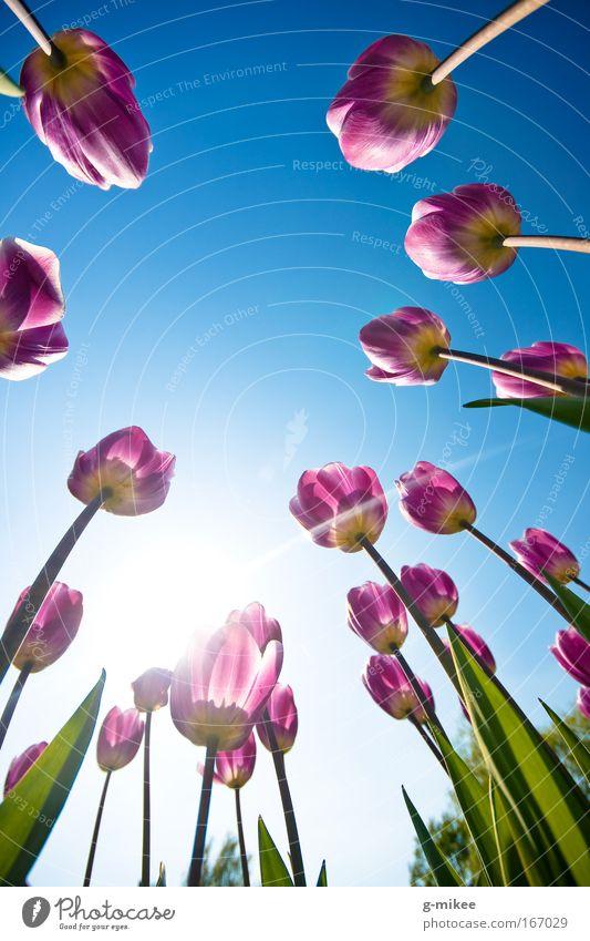 Tulpen Tulpen Tulpen Natur schön Himmel grün blau Pflanze Leben Frühling Garten Park hell Blume frei Fröhlichkeit violett Unendlichkeit