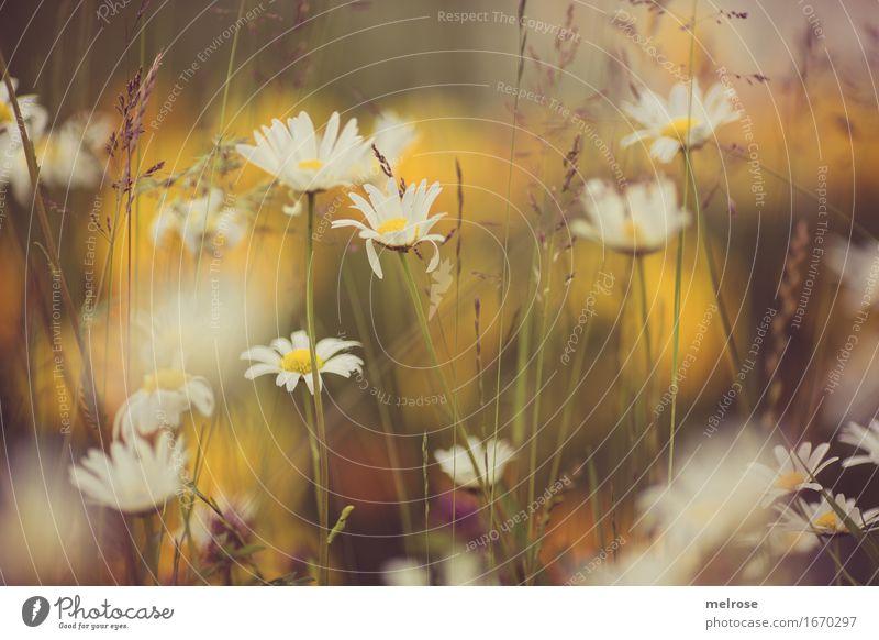 Sommerwiese Natur Pflanze Schönes Wetter Blume Blüte Wildpflanze Gras Gräserblüte Margerite Blütenpflanze Blumenwiese sommerlich Farbe Farbfleck Blühend
