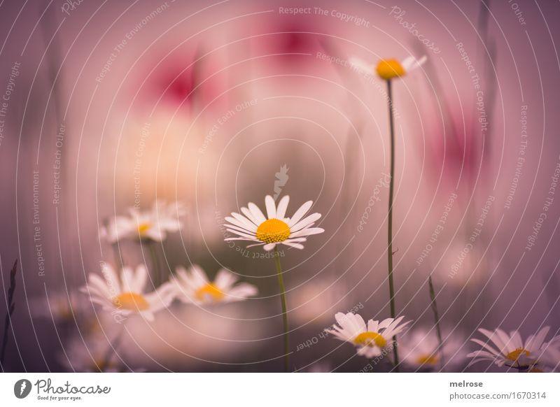 i seh ROSA elegant Stil Pflanze Sommer Schönes Wetter Blume Blüte Wildpflanze Margerite Korbblütengewächs Mohnfarbtupfer Blütenstiel Blumenwiese Garten Wiese