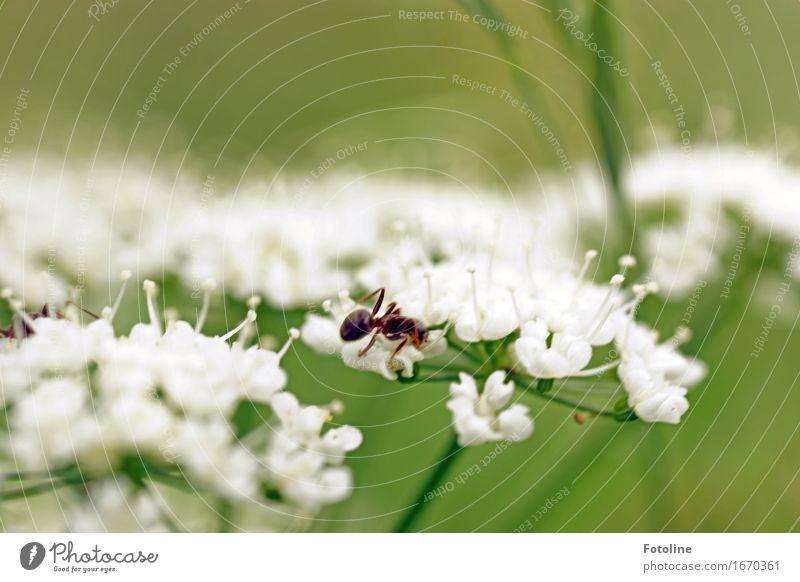 Arbeitsreicher Sommer Umwelt Natur Pflanze Tier Schönes Wetter Blume Garten 1 frei hell nah natürlich grün weiß Ameise Gewöhnliche Schafgarbe Blüte krabbeln