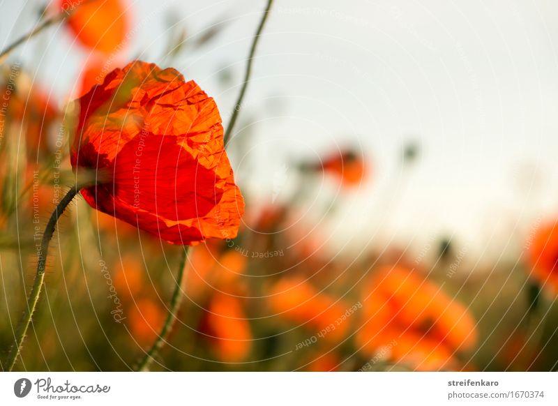 Mohn von links Natur Pflanze Sommer schön Blume Erholung rot ruhig Umwelt Wärme natürlich Glück Zufriedenheit Feld Wachstum ästhetisch
