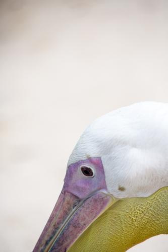 Pelikan Tier 1 braun gelb violett rosa weiß Lebewesen Schnabel Gefäße Auge Kopf Farbfoto Außenaufnahme Menschenleer Textfreiraum oben Zentralperspektive
