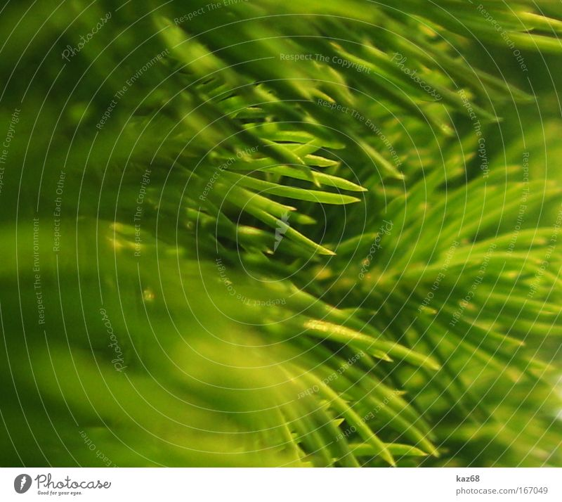 spitz Natur grün Baum Tanne Weihnachtsbaum Pflanze pfanzen Spitze Sträucher Unschärfe Grünpflanze Umweltschutz Park Wachstum stachelig Nadelbaum Nadelwald Holz