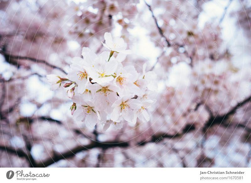 Kirsche elegant Erholung Umwelt Frühling Baum Blume Blüte Kirschblüten Garten Park Gesundheitswesen Wellness Farbfoto Detailaufnahme Menschenleer