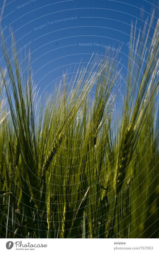 GANZ nahe Blume grün blau Pflanze Sommer Wiese Frühling Luft Feld Korn Weizen Frühlingsgefühle Wolkenloser Himmel