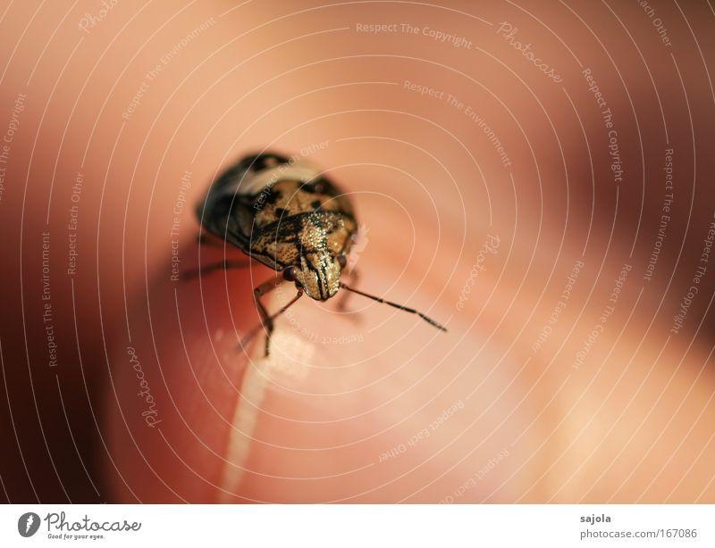kribbel krabbel Hand Tier Beine braun warten klein rosa Finger rund nah Tiergesicht Neugier niedlich Käfer Fingernagel Fühler