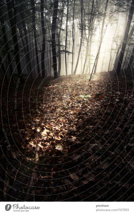 im tiiiiefen wald... pt.2 Natur Nebel Baum Blatt Wald leuchten ästhetisch außergewöhnlich dunkel gruselig natürlich träumen Einsamkeit Angst Volksglaube