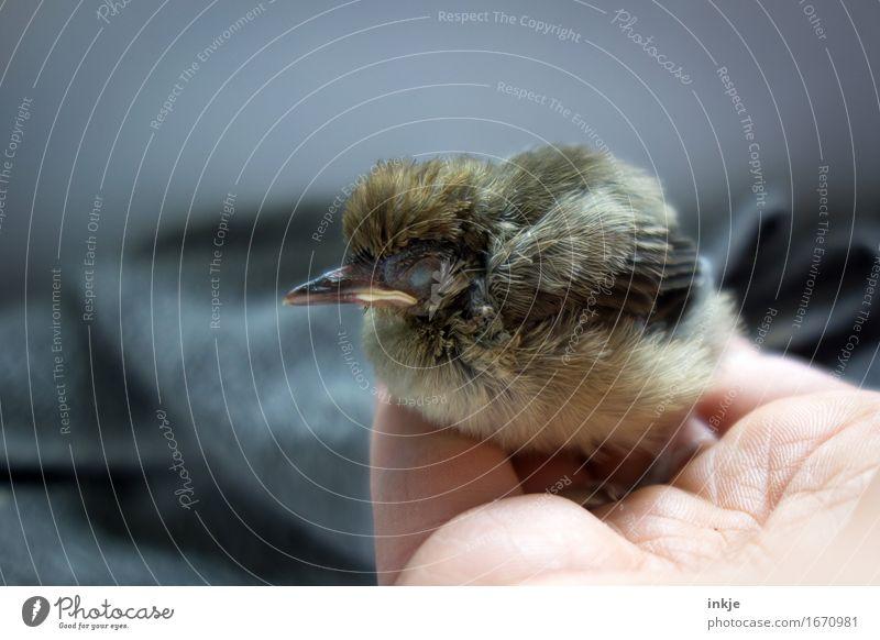 einschlafen Hand Wildtier Vogel Jungvogel Amsel 1 Tier Tierjunges hocken klein niedlich Gefühle Vertrauen Schutz Geborgenheit Tierliebe Mitgefühl Güte