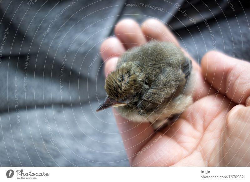 so klein Hand Wildtier Vogel Jungvogel Amsel Astling 1 Tier Tierjunges festhalten hocken niedlich Gefühle Vertrauen Schutz Geborgenheit Warmherzigkeit Tierliebe
