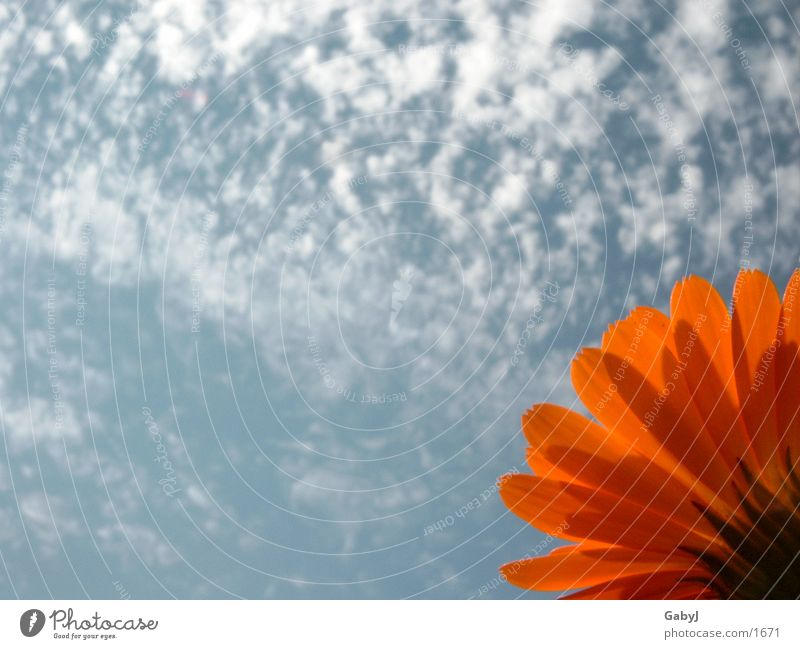 Mittag Himmel Sonne blau rot Wolken Leben orange Hoffnung aufwärts Ringelblume Mittagsblumen