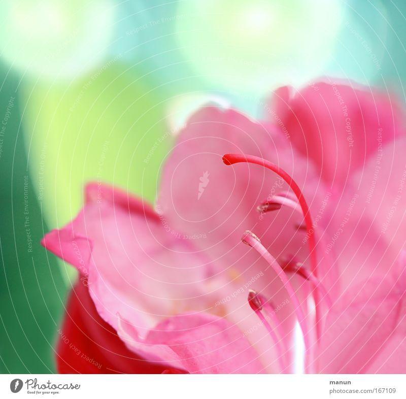 Pink Beauty schön Blume Pflanze Sommer Stil Blüte Frühling Park hell Kunst rosa Design elegant frisch ästhetisch außergewöhnlich