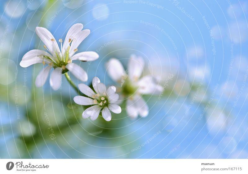 white petals weiß Blume blau Pflanze Sommer ruhig Stil Frühling hell Design Wassertropfen frisch Fröhlichkeit ästhetisch Romantik Kitsch