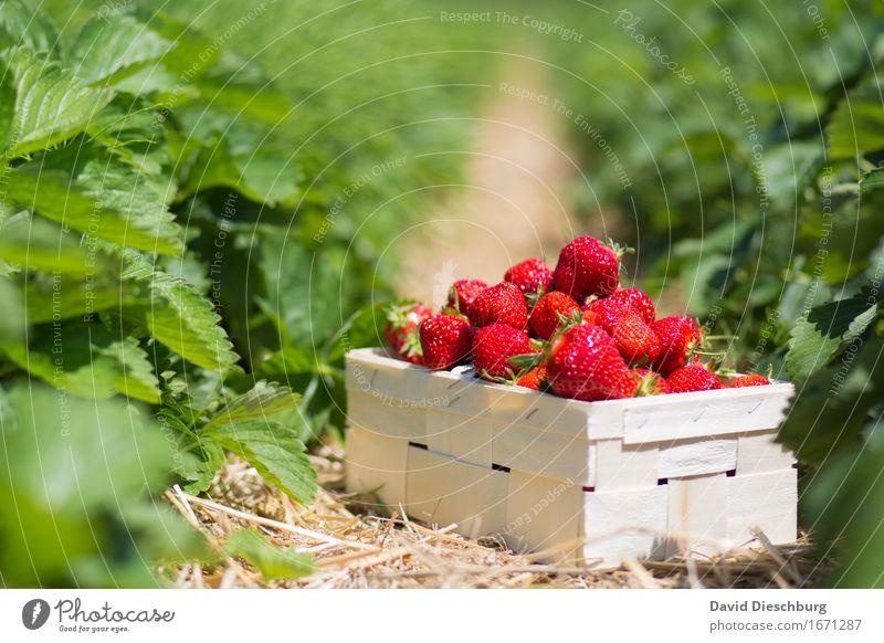 Erdbeersaison Natur Pflanze Sommer grün weiß rot Blatt gelb Frühling Lebensmittel Frucht Feld Ernährung Schönes Wetter süß lecker