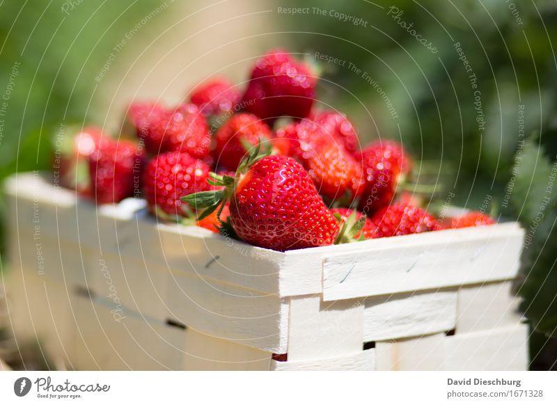 Erdbeersaison II Natur Pflanze Sommer grün rot gelb Frühling Gesundheit Lebensmittel Frucht Feld Ernährung Schönes Wetter süß Landwirtschaft lecker