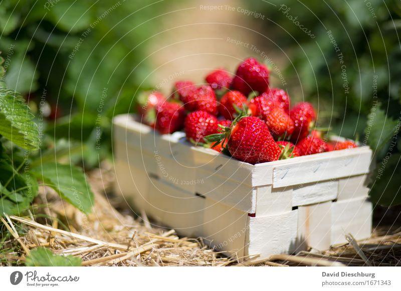 Erdbeeren Lebensmittel Frucht Ernährung Bioprodukte Vegetarische Ernährung Fingerfood Landwirtschaft Forstwirtschaft Natur Schönes Wetter Pflanze Nutzpflanze