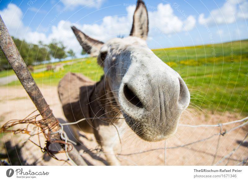 El Burro 4 Tier Nutztier 1 blau braun grau schwarz silber weiß Esel Eselsohr Neugier Säugetier Gras Weide Fressen Schnauze Nasenloch Ohr Himmel Wolken Farbfoto
