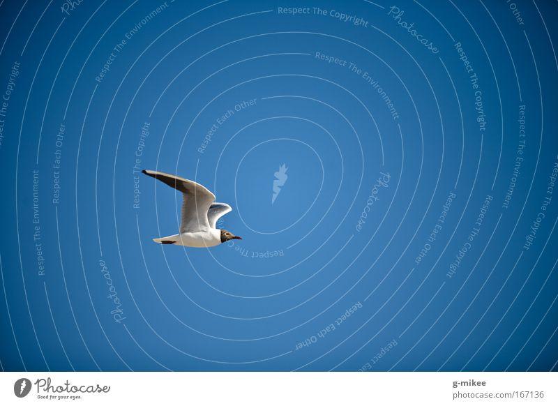 aerodynamic Umwelt Luft Himmel Wolkenloser Himmel Vogel 1 Tier fliegen Farbfoto Außenaufnahme Luftaufnahme Menschenleer Textfreiraum rechts Textfreiraum oben