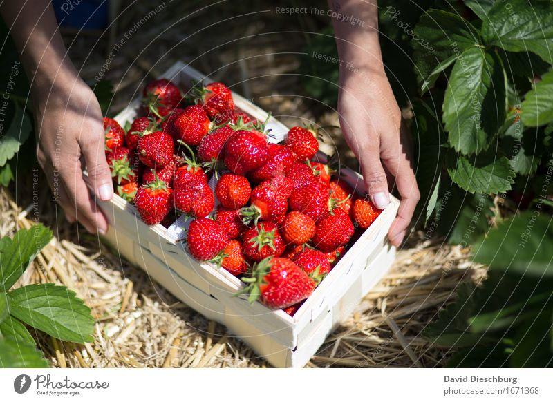 Frische Ware Lebensmittel Frucht Ernährung Bioprodukte Vegetarische Ernährung Hand Natur Sommer Schönes Wetter Pflanze Nutzpflanze Feld gelb grün rot Querformat