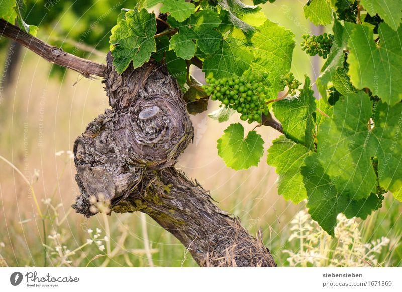 Das wird ein guter Jahrgang Alkohol Ferien & Urlaub & Reisen Sommer Landwirtschaft Forstwirtschaft Natur Landschaft Pflanze Tier Schönes Wetter Wein Weinberg