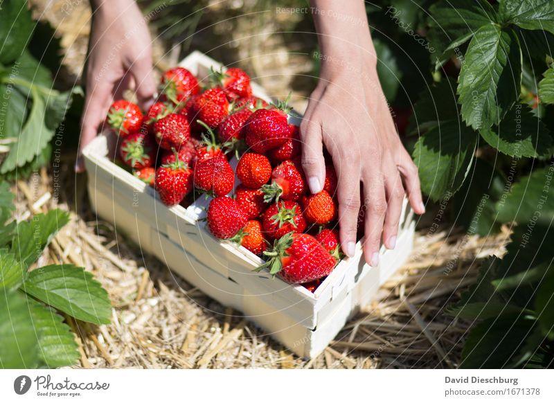 Rotes Gold Lebensmittel Frucht Ernährung Bioprodukte Fingerfood Natur Frühling Sommer Schönes Wetter Pflanze Feld gelb grün rot lecker süß Sammlung Erdbeeren